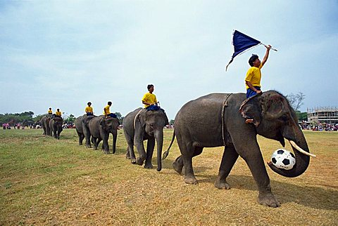 Line of elephants in a soccer team during the November Elephant Round-up Festival at Surin City, Thailand, Southeast Asia, Asia