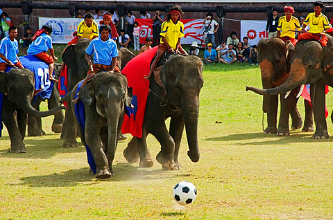 elephants playing football at the Surin Elephant Roundup in Thailand