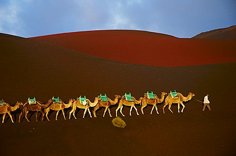 Spain, Canary islands, Lanzarote, National Park of Timanfaya, excursion on camel to visit the volcano