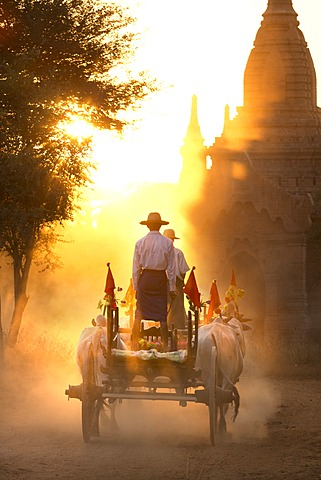 Bullock cart on a dusty track among the temples of Bagan with light from the setting sun shining through the dust, Bagan, Myanmar (Burma), Asia