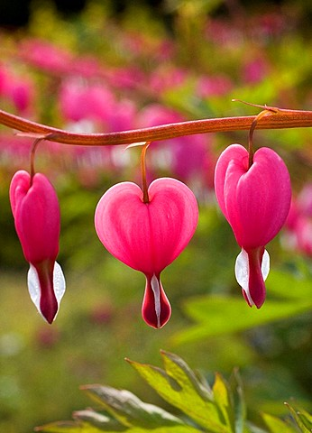 Heart shaped flowers, close up