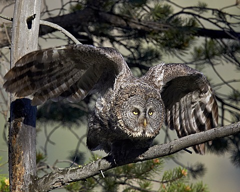 Great Grey Owl by James Hager