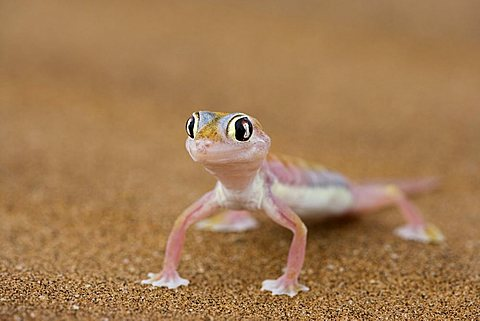 Webfooted Gecko