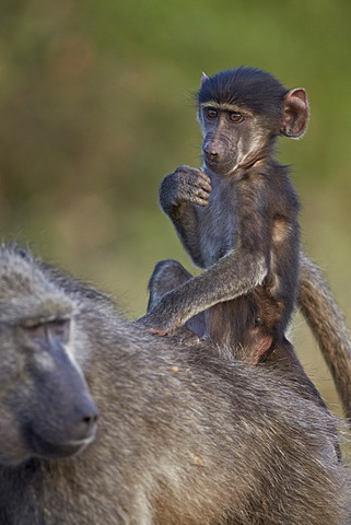 Infant Chacma baboon (Papio ursinus) riding on its mother's back, Kruger National Park, South Africa, Africa