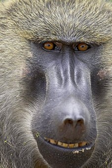 Olive baboon (Papio cynocephalus anubis), Serengeti National Park, Tanzania, East Africa, Africa