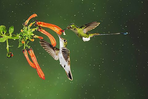Booted Racket-tail (Ocreatus underwoodii) and Andean Emerald (Amazilia franciae), two males feeding on flower during rain in cloud forest rainforest, Mindo, Ecuador, Andes, South America