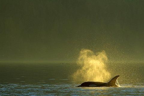 Orca, Johnstone Strait, British Columbia, Canada / (Orcinus orca) / Killerwhale