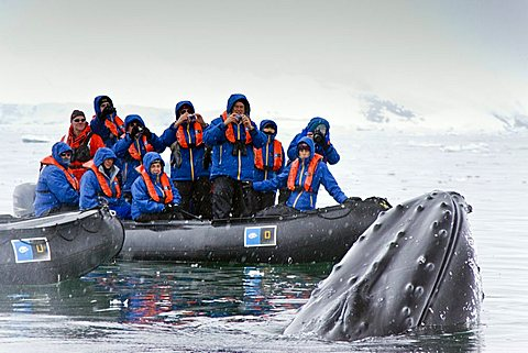 Humpback whale (Megaptera novaeangliae) spy-hopping near Zodiac near the Antarctic Peninsula, Antarctica, Southern Ocean. MORE INFO Humpbacks feed only in summer, in polar waters, and migrate to tropical or sub-tropical waters to breed and give birth in t