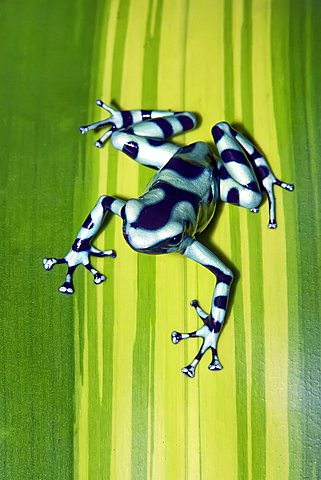 how to see frogs in the daintree
