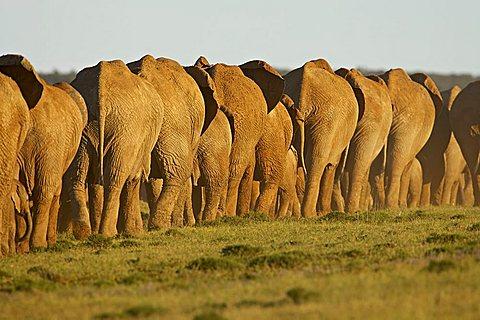 Line of African elephants (Loxodonta africana), Addo Elephant National Park, South Africa, Africa