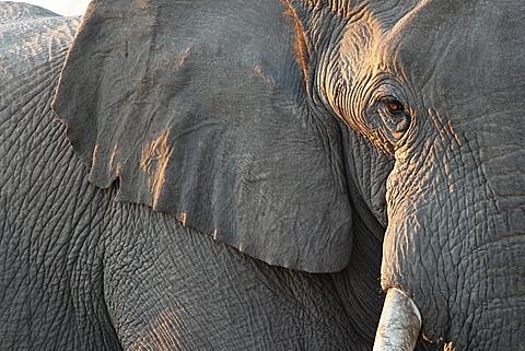 Close up of partial face, African elephant (Loxodonta africana), Etosha National Park, Namibia, Africa