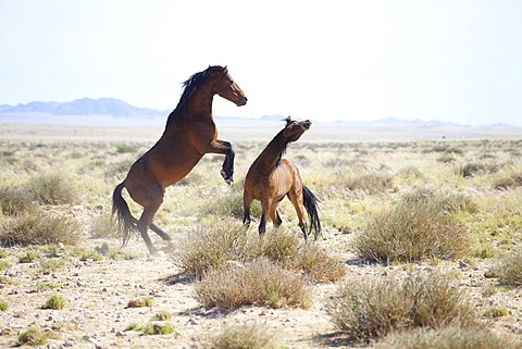 Two wild horses sparring in the bleached landscape near Aus, Namibia, Africa