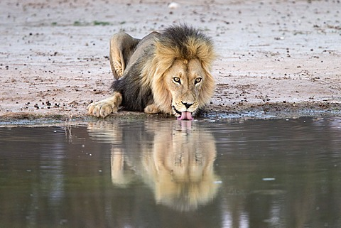 Lion (Panthera leo) drinking, Kgalagadi Transfrontier Park, South Africa, Africa