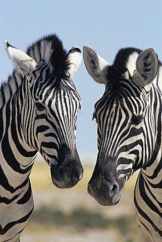 Two Burchell's zebra, Equus burchelli, Etosha National Park, Namibia, Africa