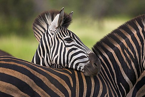 Burchell's (plains) zebra (Equus burchelli), resting, Kruger National Park, South Africa, Africa