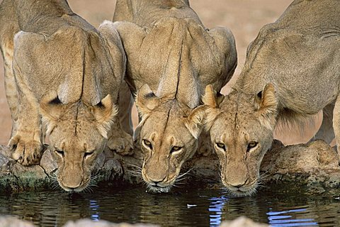 Lions drinking, Panthera leo, Kgalagadi Transfrontier Park, South Africa, Africa