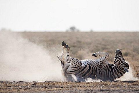 Burchell's zebra (Equus burchelli), dust bathing, Etosha National Park, Namibia, Africa