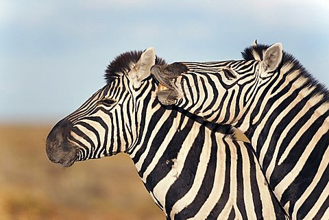 Burchell's zebras (Equus burchelli) with foal, Etosha National Park, Namibia, Africa