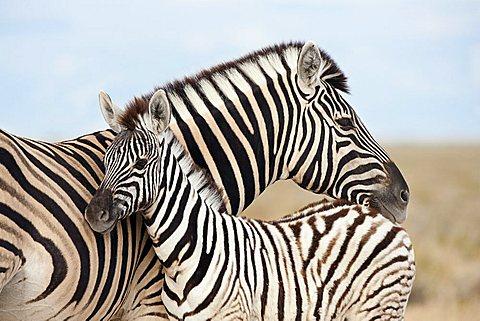 Burchell's zebra (Equus burchelli), with foal, Etosha National Park, Namibia, Africa