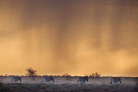 Plains zebra (Equus burchelli), at stormy sunset, Etosha National Park, Namibia, Africa