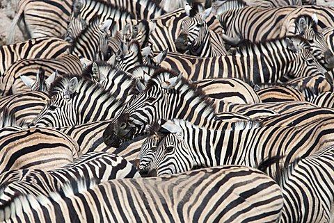 Plains zebra (Equus burchelli), crowd at waterhole, Etosha National Park, Namibia, Africa