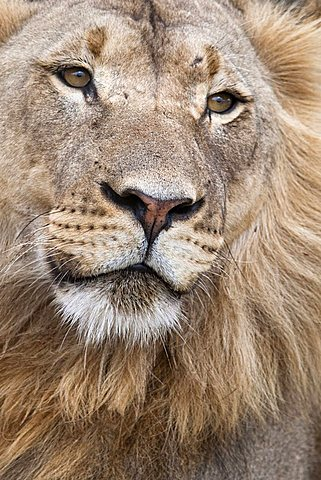 Male lion, Panthera leo, Addo National Park, Eastern Cape, South Africa