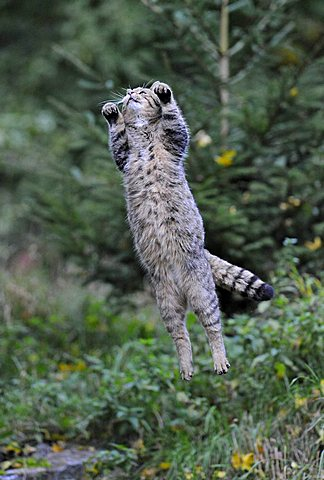 Wild Cat (Felis silvestris) jumping