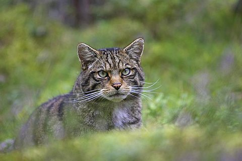 European Wild Cat (Felis silvestris), adult, close-up of head, in pine forest, Highlands, Scotland, United Kingdom, Europe