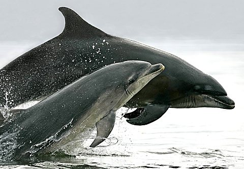 A pair of Bottlenose Dolphins (Tursiops truncatus) breaches from the Moray Firth, Scotland.