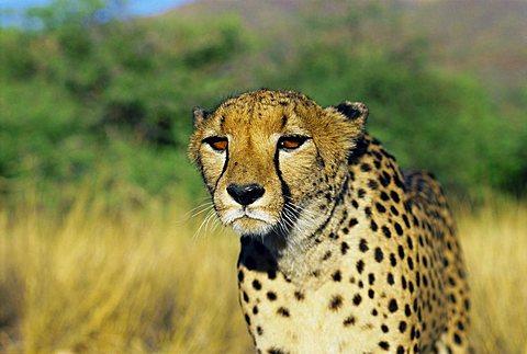 Cheetah families