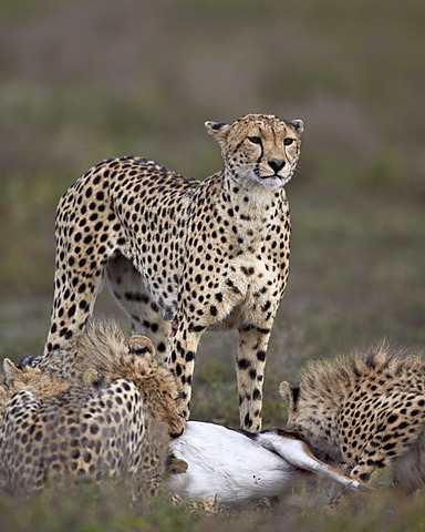 Cheetah (Acinonyx jubatus) mother at a kill with her three cubs, Serengeti National Park, Tanzania, East Africa, Africa