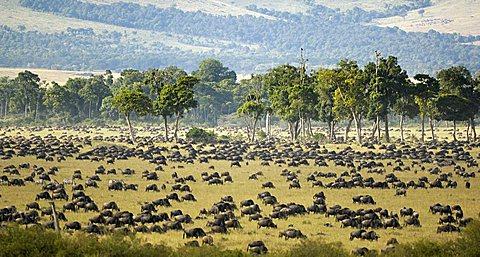Gnu, Blue Wildebeest (Connochaetes taurinus), gnu migration, herd at the Mara River in the morning, Masai Mara, Kenya