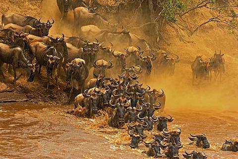 Herd of Wildebeest, Wildebai, or Gnu (Connochaetes) crossing the Mara river in Masai Mara, Kenya, Africa