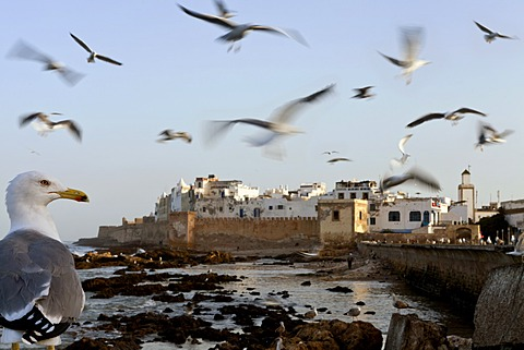 Seagull flying over the Medina of Essaouira, Morocco
