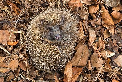 Hedgehog (Erinaceus europaeus)  in autumn leaves, captive, UK, June 2014