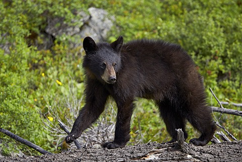Black bear (Ursus americanus) yearling cub, Yellowstone National Park, Wyoming, United States of America, North America