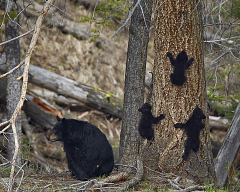 Black bear (Ursus americanus) sow and three cubs of the year, Yellowstone National Park, Wyoming, United States of America, North America
