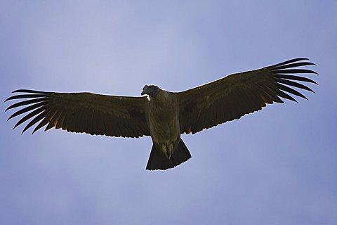 Juvenile Andean condor (Vultur gryphus) soaring, Torres del Paine National Park, Chile, South America