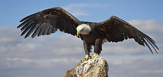 Bald eagle perched with spread wings, Boulder County, Colorado, United States of America
