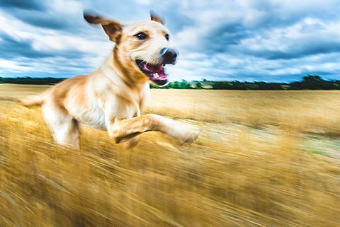 Labrador in field, Oxfordshire, England, United Kingdom, Europe