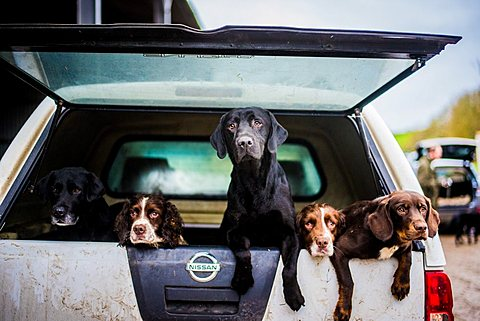 gun dogs in the back of 4x4 on a shoot in Wiltshire