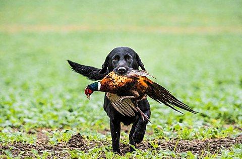 black labrador gun dog retrieving cock pheasant on a shoot in Wiltshire