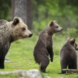 Brown bear cubs and adult (Ursus arctos), Finland, Scandinavia, Europe