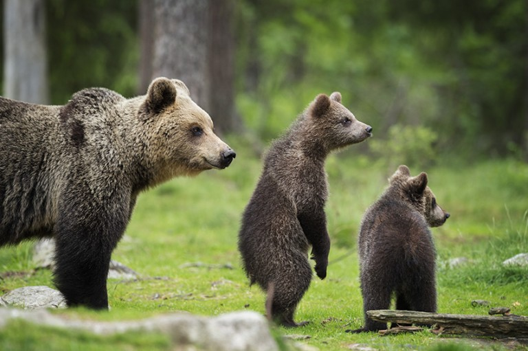 Curious brown bear cubs by Janette Hill