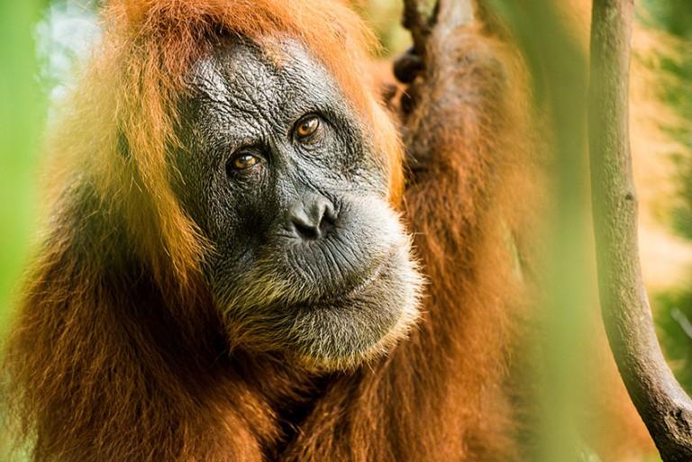 Charming orangutans by John Alexander