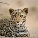 Leopard, Panthera pardus, Kgalagadi Transfrontier Park, Kalahari, South Africa