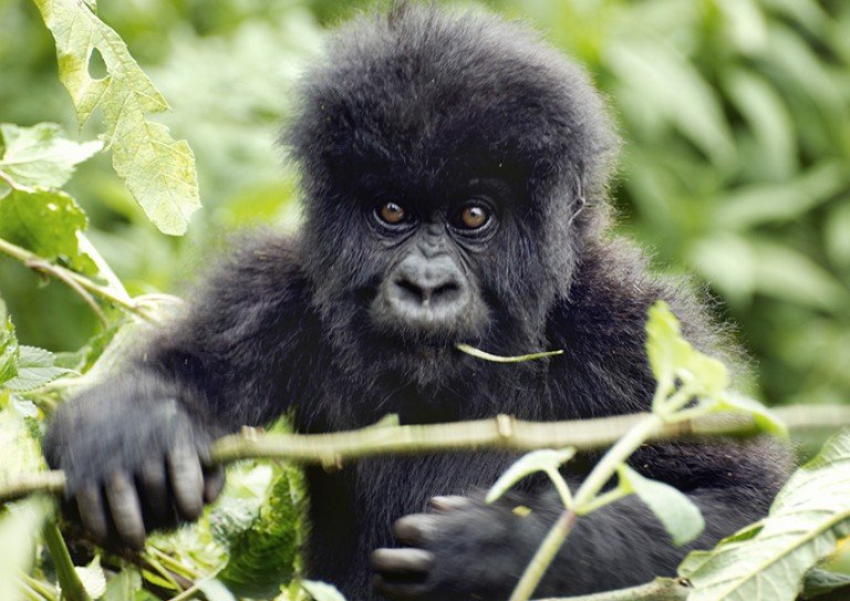 Matt Frost's close encounters with gorillas in Rwanda