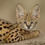 Serval (Felis serval) cub on termite mound, Masai Mara National Reserve, Kenya, East Africa, Africa