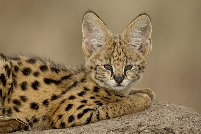 Fascinating African wild cats by James Hager