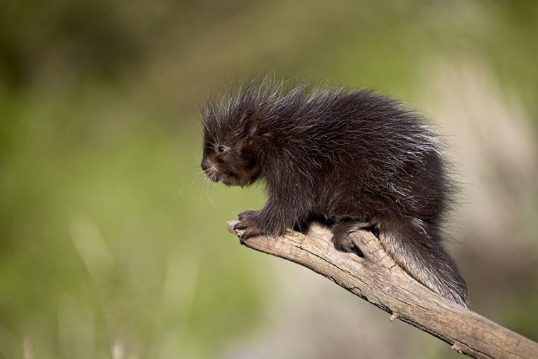 Baby porcupines by James Hager